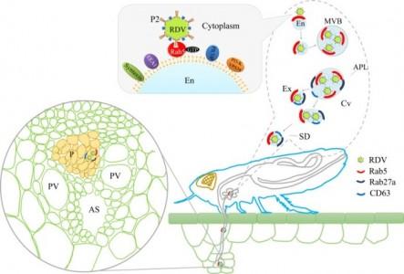 外泌体介导病毒从昆虫到植物韧皮部的水平传播