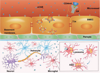 Adv Sci:肿瘤细胞凋亡小体跨血脑屏障递送反义寡核苷酸