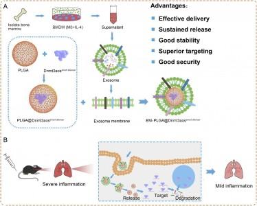 皖南医学院:一种靶向巨噬细胞的外泌体膜修饰的纳米药物,用于治疗过敏性哮喘