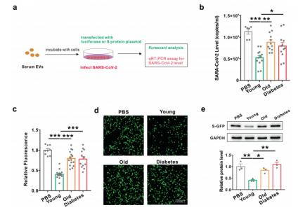 南京大学:老年人和糖尿病患者对新冠肺炎预后不佳的原因在于外泌体miRNA