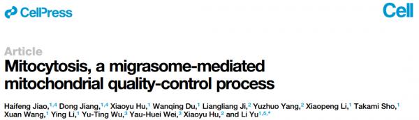 【Cell】清华大学俞立教授:迁移小体介导线粒体质量控制过程