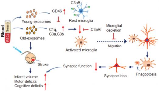 Circ Res:循环促炎外泌体在衰老过程中加重中风结果