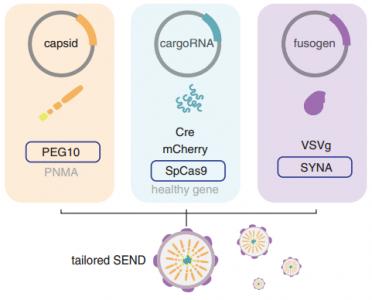 Science重磅:CRISPR先驱张锋教授团队发现全新RNA递送系统