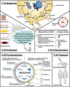 【综述】四川大学华西口腔医学院:间充质干细胞衍生的细胞外囊泡在肿瘤治疗中的作用