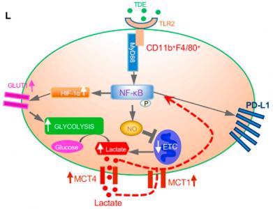 Cell Metabolism:肿瘤外泌体通过代谢重编程驱动转移前生态位中的免疫抑制巨噬细胞
