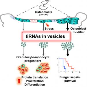 【Cell Stem Cell】哈佛大学:细胞外囊泡tiRNA调节造血祖细胞功能