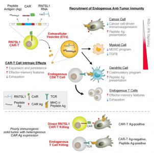 【重磅】【Cell】:非编码RNA和细胞外囊泡帮助CAR-T增强实体瘤疗效