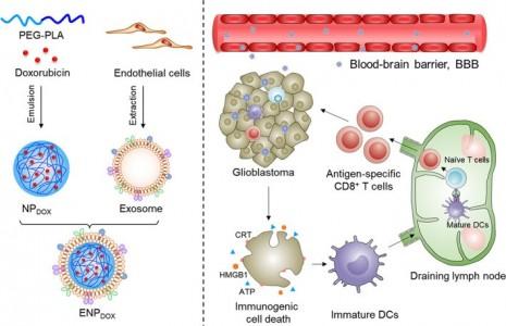 河北医科大学:外泌体-多柔比星纳米颗粒用于胶质母细胞瘤的免疫原性化疗