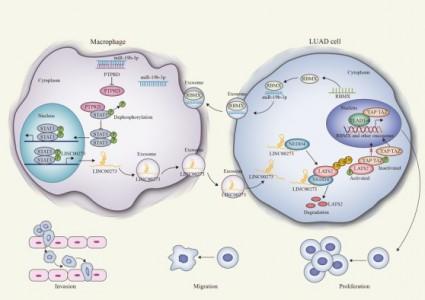 东南大学医学院:肿瘤来源的外泌体miR-19b-3p促进M2巨噬细胞极化和外泌体LINC00273分泌,促进肺腺癌转移